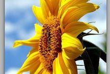 SUNflower... / by Jana Jannsen
