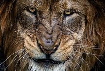 Really big kitties / Tijgers, lions, jaguars and other big cats / by GertyH