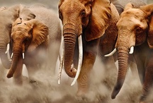 ELEPHANTS / Such beautiful creatures / by Terry Hobson