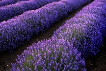 LAVENDER.OH THAT SMELL. / by Terry Hobson