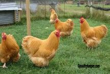 Chicken Coops & Info / by Terese S
