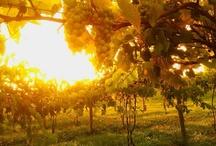 Vineyard / by Sleepy Creek Vineyards & Winery