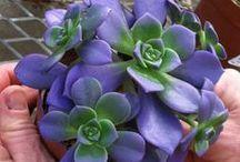 Succulents / by Darla Guerra