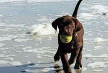 Chocolate Lab / by Lisa Pomp