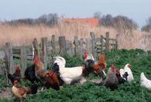 Chickens / by Alicia Yarbrough