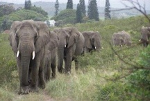 Elephants / by Ginger Whitley