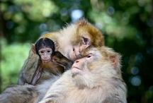 Apes/monkeys, etc. / by Penny Kettlewell