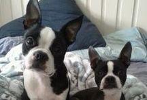 <3 Boston Terriers & ... / by Shannon Lehman