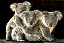Koalas / by Kelly Bragg