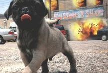 PUG LIFE / All pug everything. / by This Is Our Fauna