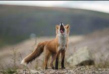 Fox / #fox / by Shan Fox
