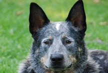Australian Cattle Dog Love / by Colleen