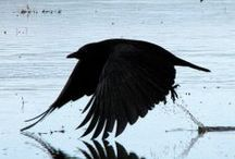 CroWs   &  RaveNs / sisters and brothers... / by Primitive Hare Isobel-Argante
