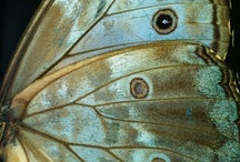Butterflies ~  Moths ~ etc / Happiness is like a Butterfly   ~  which, when pursued, is always beyond our grasp   ~   but which, if you sit down quietly, may alight upon you.  / by Ali Nishiguchi
