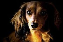 Doxies / The most charming of dogs ... dachshunds / by Marcia Ferguson