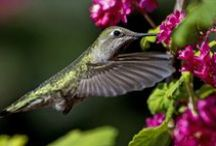 Hummingbirds / http://facebook.com/lanie.blackmon / by Lanie Blackmon