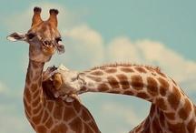Giraffes / by Kim Berry
