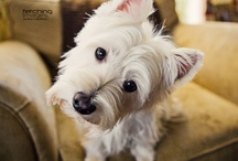 Westies, bc I have one (: / by Sarah McMinn