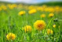 Garden ~ Wild Edibles / Food Foraging and Wild Edibles / by Organic Gardens Network™