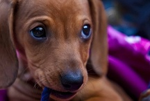 Doxies / by Gail Slomchinski