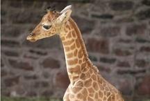 I <3 giraffes / by Amy Pavel-Potts