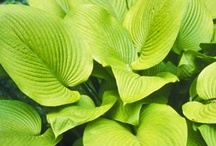 Gardener's Palette: Chartreuse / If you are looking for a plant to light up a shady garden, there is no better color than chartreuse. Try pairing it with plum, bronze, or burgundy for a rich contrast. / by Organic Gardening