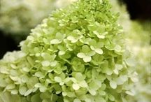 Gardener's Palette: Greens / We all know that attractive foliage can add many colors and textures to a garden. But when it comes to choosing green accents, foliage isn't the only option. Flowers and fruits  come in lovely shades of green, too. Here are some verdant choices. / by Organic Gardening