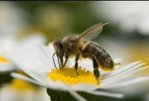 Bees & Beekeeping / The humble bee does so much for our gardens and our food supply. It's time we returned the favor by showing some bee love! / by Organic Gardening