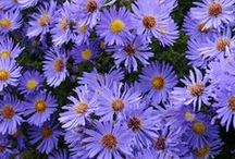 Gardener's Palette: Purples / From gentle pastel German bearded irises in spring to vibrant purple dahlias in summer to bold plum chrysanthemums in fall to frosty ornamental kale in winter, purples will keep your garden colorful throughout the seasons. / by Organic Gardening