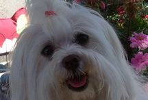 Maltese ... and Treats For Belle ! / by Deb Reeves Hempel