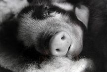 ♥Pigs♥ / by Donna