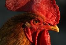 Chickens / by Nydia Avila de Marín