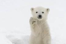 Polar Bears / by Olivia Marlowe-Giovetti