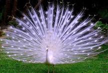 Peacocking / by Ashley Bates