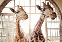 Incredible ♥ Giraffes / My most favorite wild animal~ / by ♥Gail Frazier♥