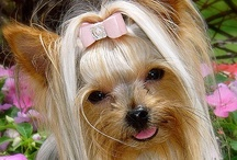 Yorkies and other cute dogs / by Daisy's Mom