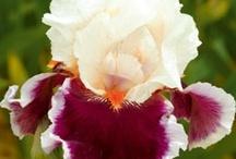 Just Iris~ / Iris' eyes are shining~ / by Luella Hinrichsen