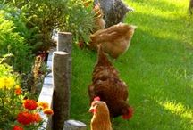 Chickens / by Edith S Reyna