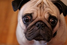 Pug Life / by Susan | Girl In The Little Red Kitchen