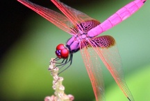 Dragonflies  / by Corinne