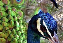Peacocks! / by Sarah Forgie