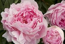 Peonies Forever! / by Peggy Anatol