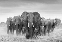 Elephants / by Sam Olivier