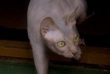 PET: CATS  / by Naomi Aguilu