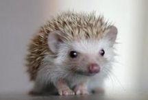 Hedgehogs / they don't like sharing the hedge. / by Emily Szentkuti