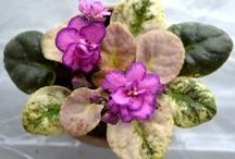 African Violets / I love this flower and have grown them since the '70's.  Right now I have just over 50 and many varieties.  You can have blooms all year long and there are times they are all blooming at once...that's when I love them most. / by Rita Diffenauer