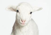 Goats and Sheep  / by Sara Hincapie