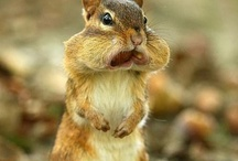 Squirrels and Chipmunks / As a young girl...the boys at school called me squirrel or chipmunk because of my chubby cheeks, this continued until high school   :)...So I find myself liking the squirrels and chipmunks.  / by Joan Arc