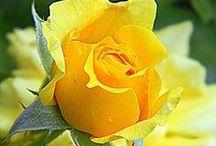 Royal Roses / by Valerie Farrar