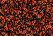I <3 Monarch Butterflies  / by Kimberly Sanburg